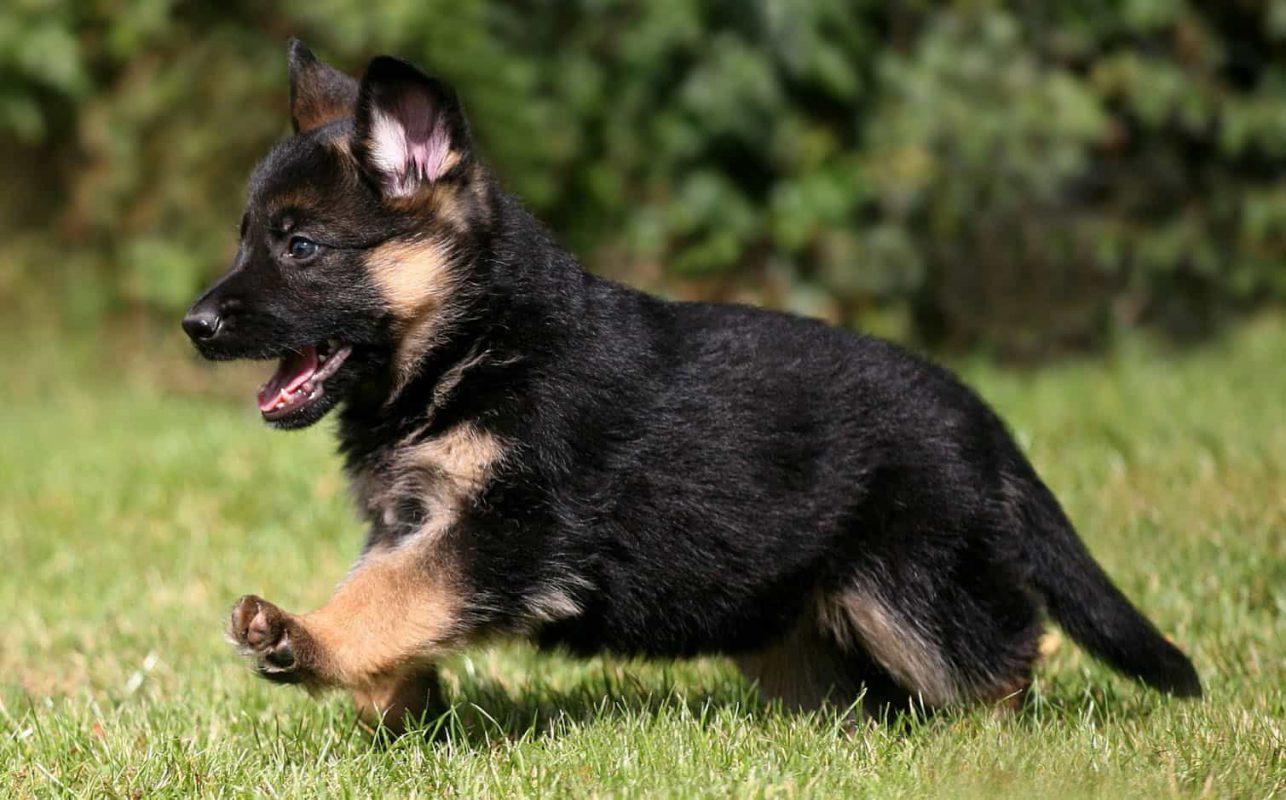 Bán chó Becgie Đức
