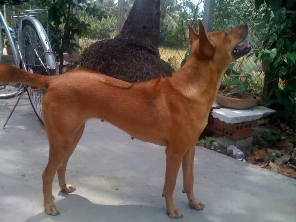 Bán chó Phú Quốc
