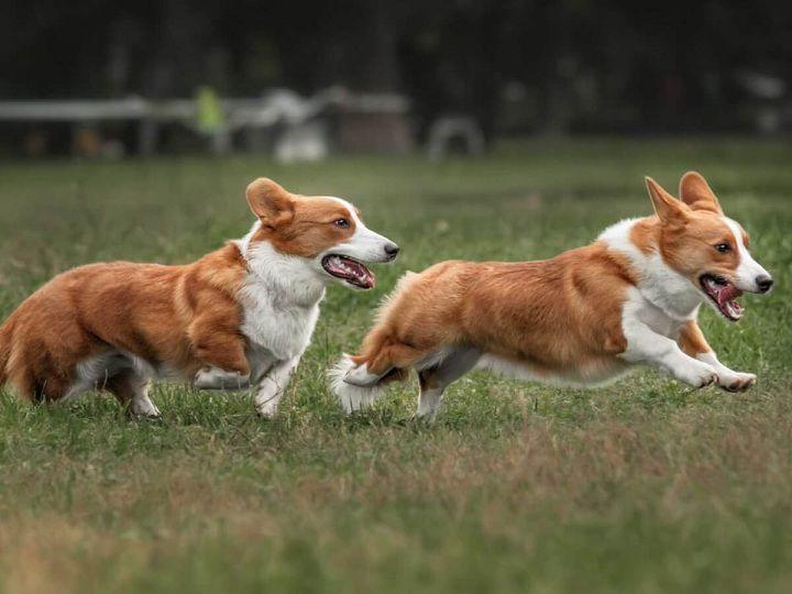 Phối giống chó thuần chủng