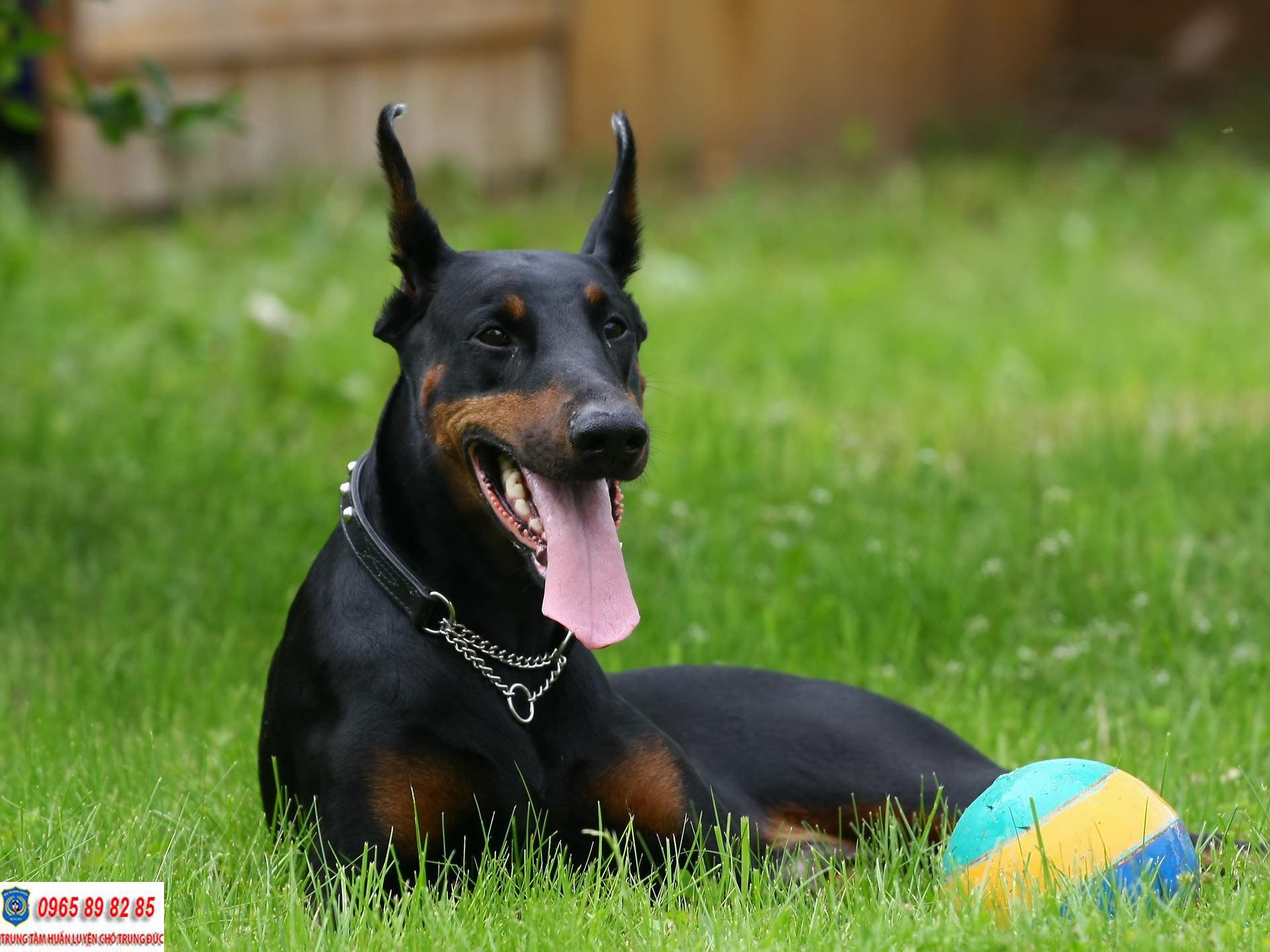 Huấn luyện chó Doberman