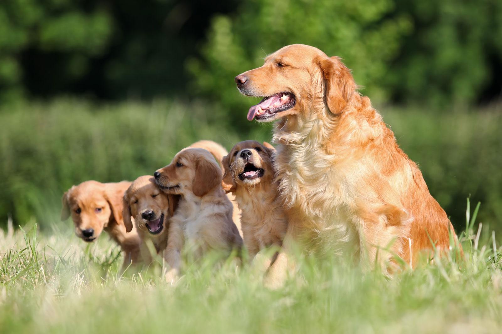 Huấn luyện chó golden